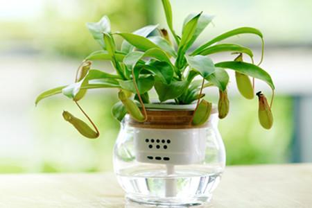 水培猪笼草的图片