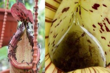 猪笼草捕虫的图片
