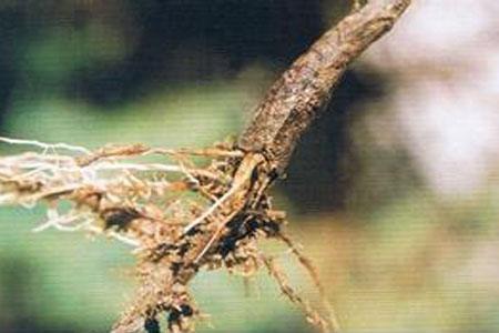 菊花茎腐病
