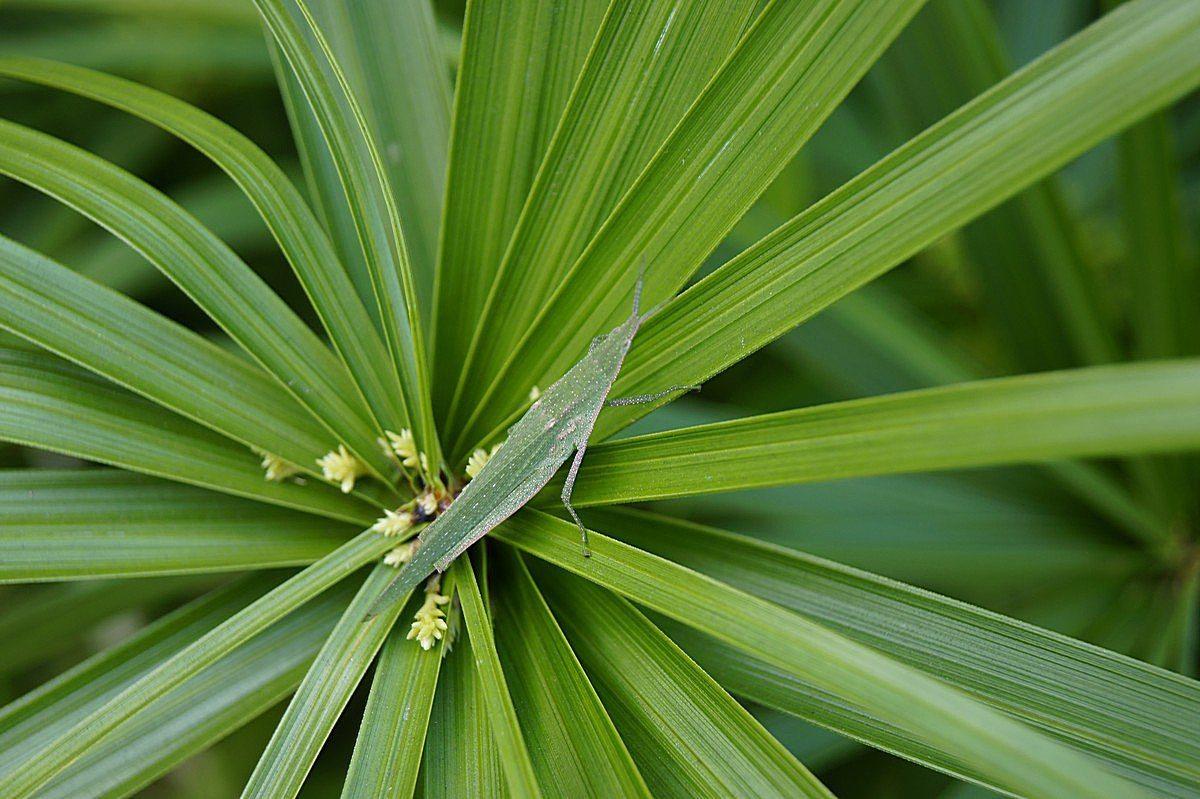 旱伞草叶子发黄的处理方法