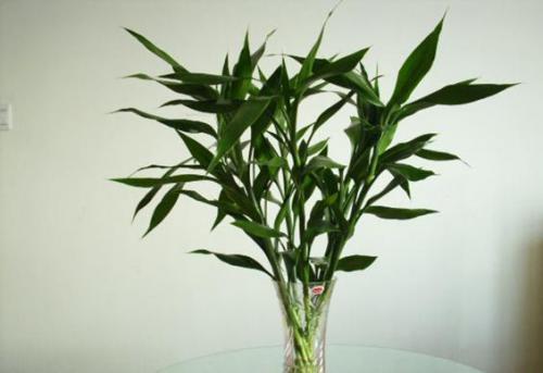 旱伞草(水棕竹)j净化水质的作用