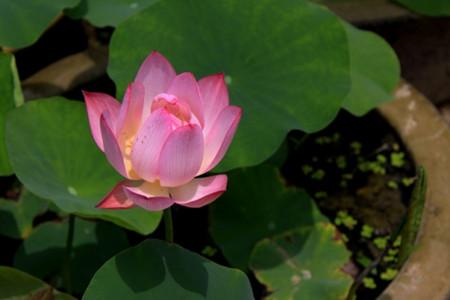 盆栽荷花盆土的图片