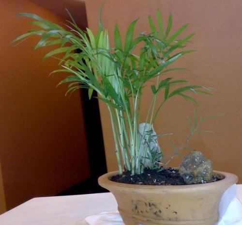 旱伞草(水棕竹)的盆景制作方法
