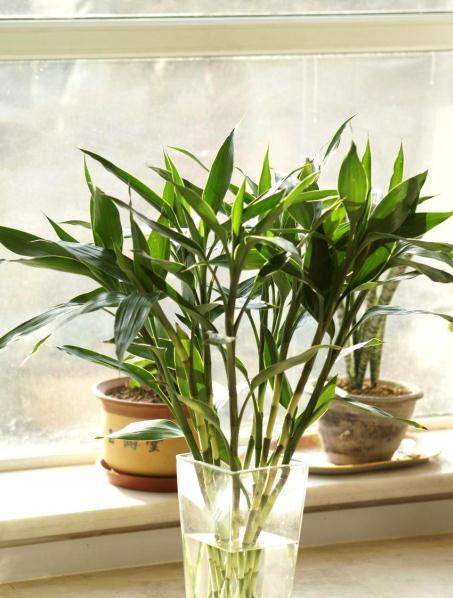 旱伞草(水棕竹)的盆景养护方法