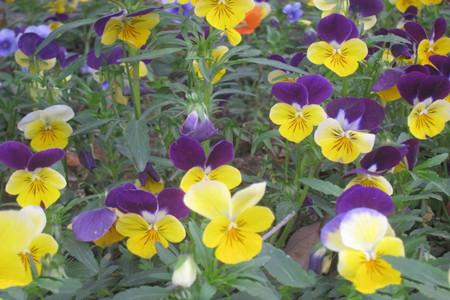 蝴蝶花的药用功效