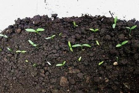 荷花种子图片
