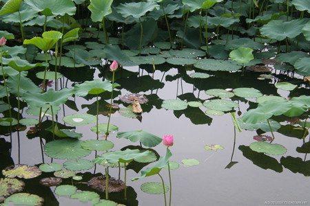 冬季水池贮藏荷花的图片