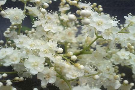 珍珠梅的盆景养护