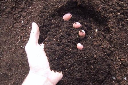 荷花用土的图片