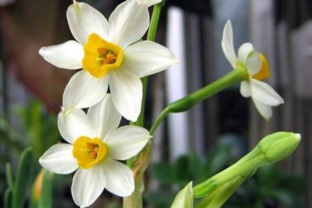 三蕊水仙的图片