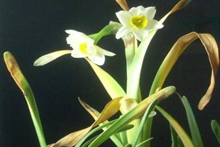 水仙花叶子变软的图片