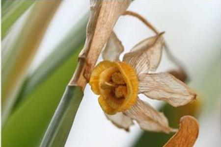 水仙花枯萎的图片