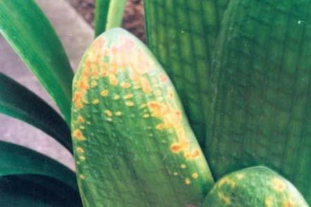 水仙花大褐斑病图片