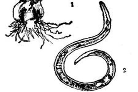 水仙花线虫病图解