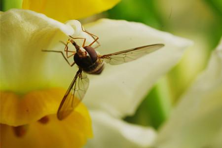 水仙花水仙蝇的图片