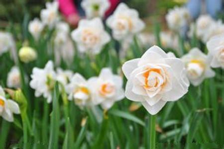 水仙花开花的图片
