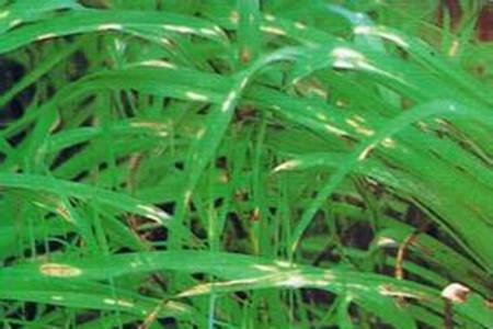 萱草叶斑病的图片