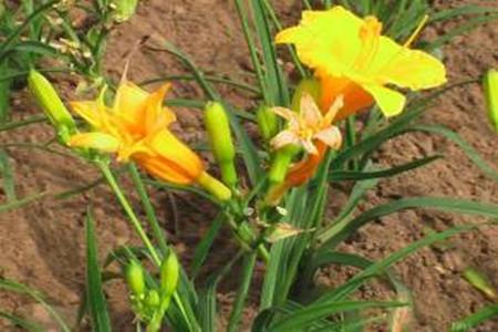 萱草的土壤图片