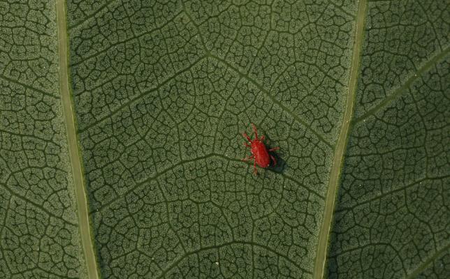 兜兰红蜘蛛