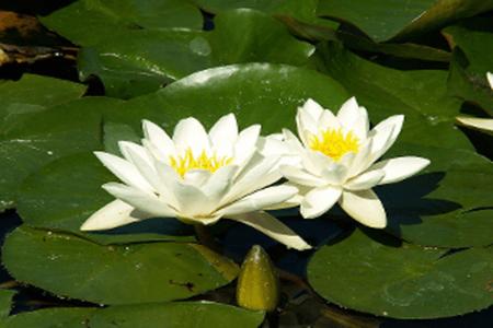 白睡莲的图片