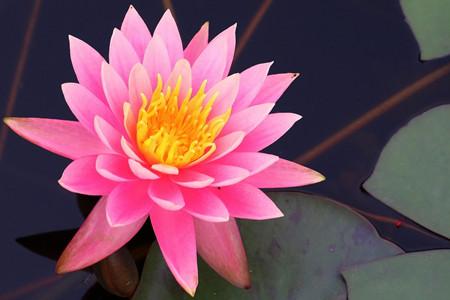 红睡莲的图片