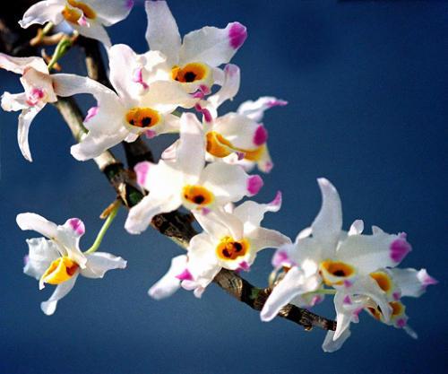 盛开的石斛兰