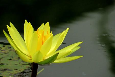 黄睡莲的图片