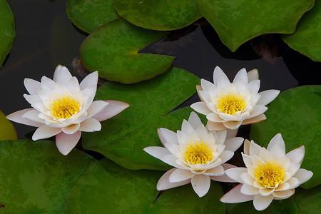 睡莲开花的图片