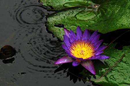 睡莲开花图片