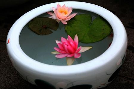 睡莲花盆图片