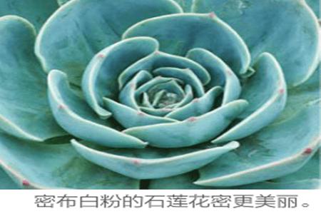 密布白粉的石莲花