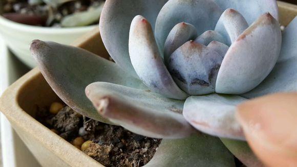 多肉植物赤腐病