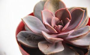 紫珍珠室温5-8℃