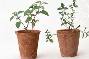 盆栽的蔬菜