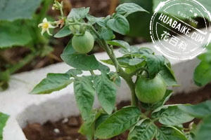 盆栽蔬菜果实