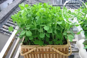 阳光下的蔬菜盆栽