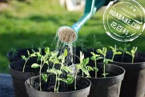盆栽蔬菜浇水