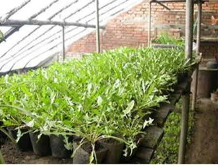温室栽培蒲公英