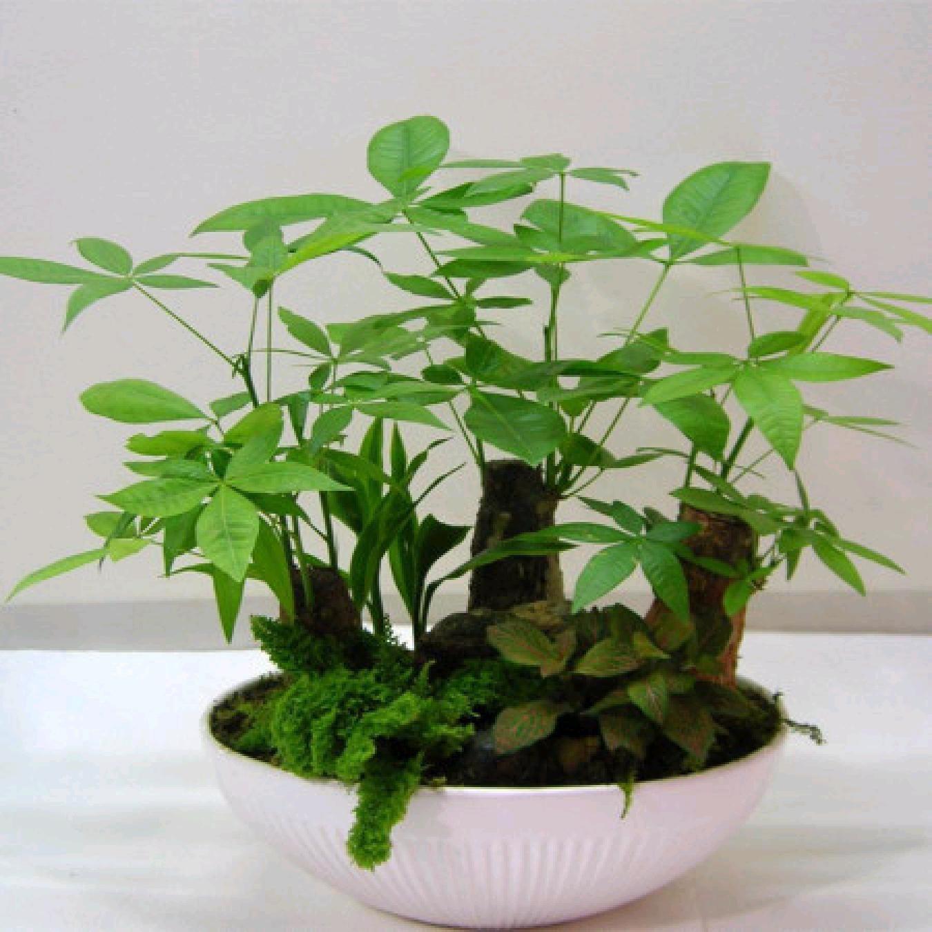 发财树冬季养殖养护方法