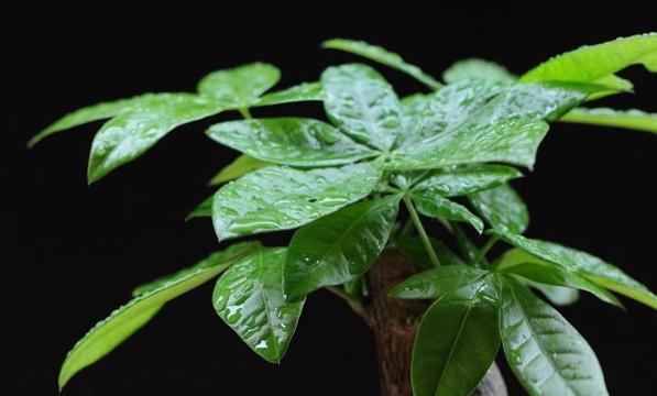 发财树的施肥选择