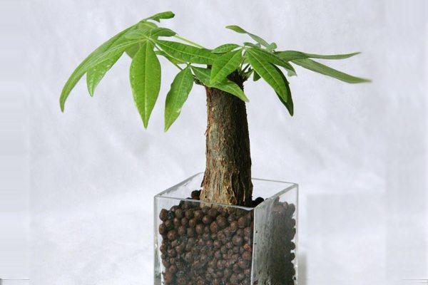 发财树与家具风格的搭配
