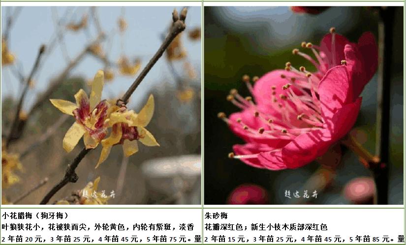 朱砂梅和小花腊梅