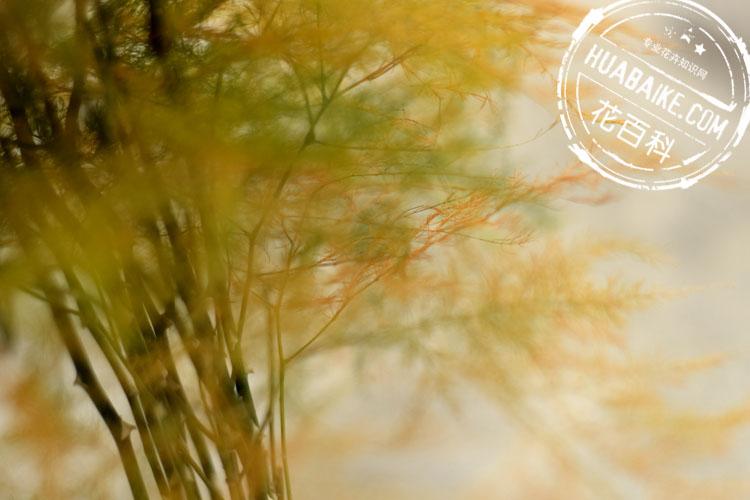 秋季发黄的文竹