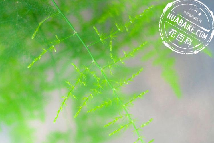 翠绿的文竹