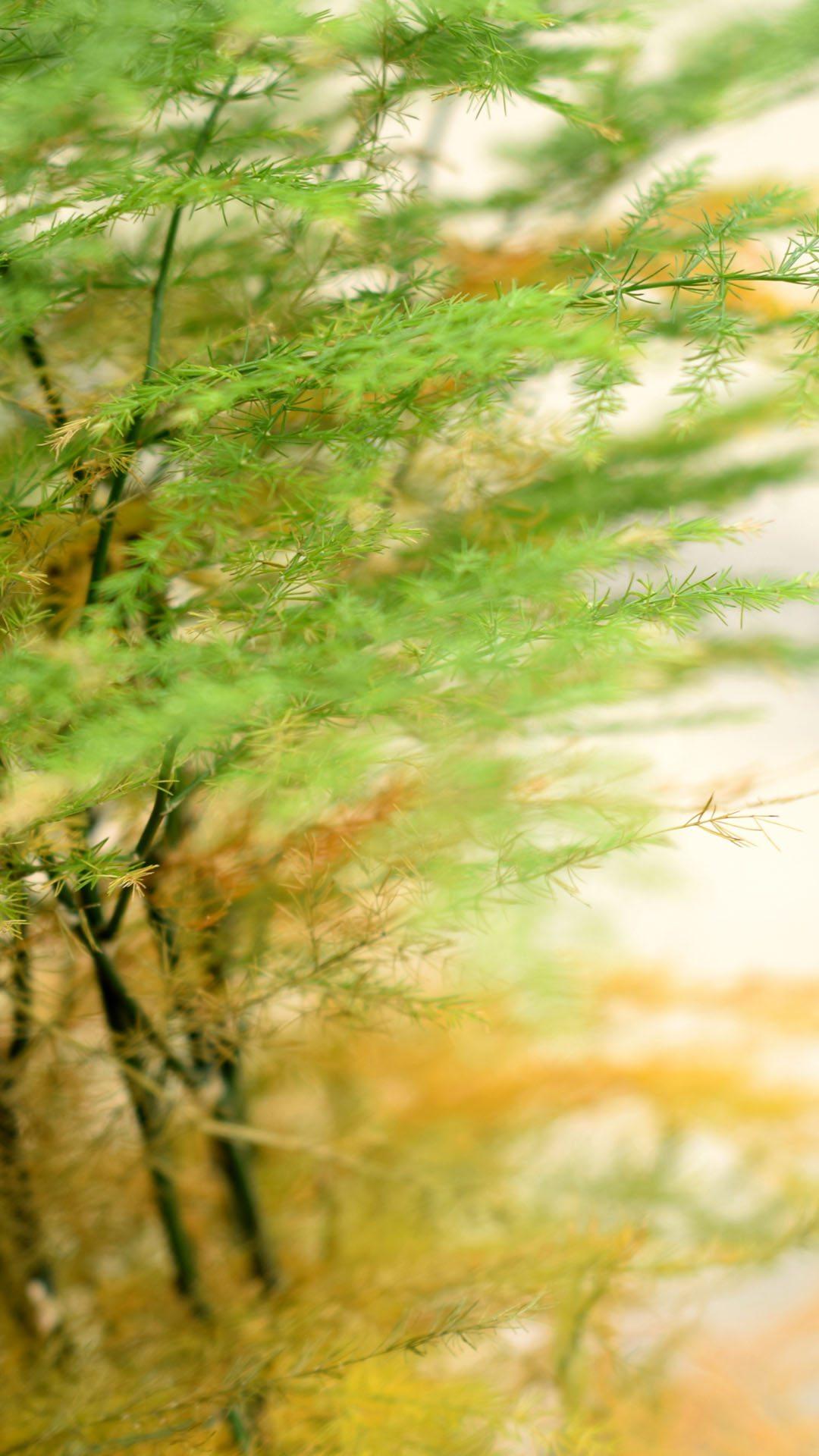 文竹手机壁纸图片-美丽的文竹