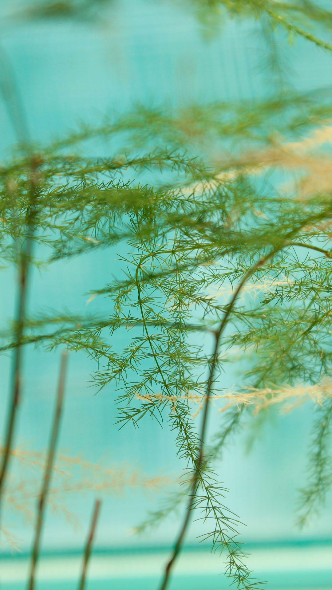 文竹手机壁纸图片-春季的文竹