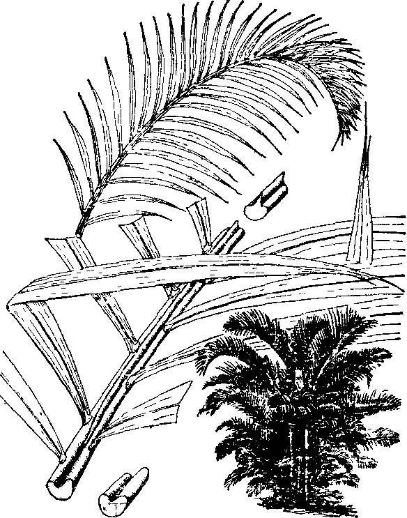 散尾葵图片