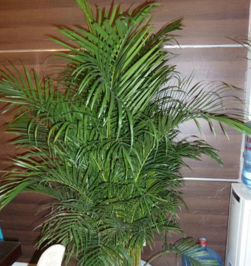 散尾葵与凤尾竹的区别