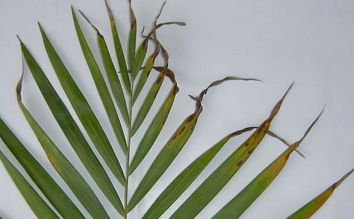 散尾葵叶子发黄的原因——虫害侵染