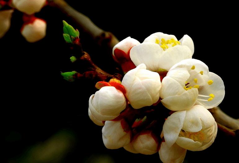 梅花盆景的夏季养护